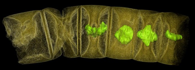 X-ray tomographic picture (false colors) of fossil thread-like red algae. Image: Stefan Bengston