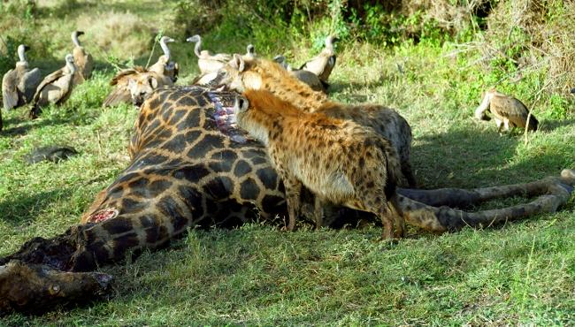 Hyenas Jackals Vultures