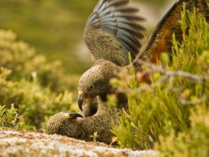 Two kea playing together. Image: Raoul Schwing