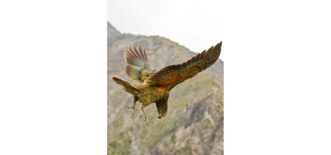 A juvenile kea playing in the air. Image: Raoul Schwing
