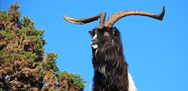 Billy goat from feral herd in Mulranny, Co Mayo, Ireland. Image: John Joyce
