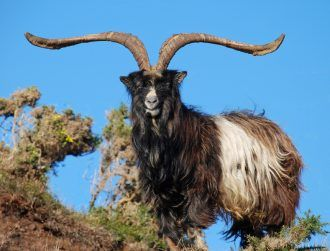 Swiss invaders are driving out indigenous goat herds