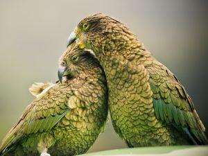 New Zealand keas