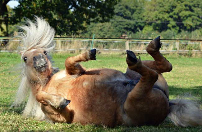 Horse falling over. Image: Heather Ross/Comedy Pet Photo Awards