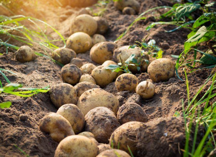 Mars growing potatoes