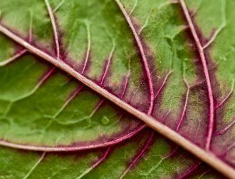 With a few small tweaks, a spinach leaf can turn into human heart tissue