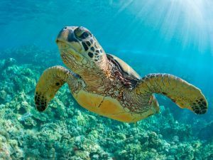 A turtle going for a swim. Image: tropicdreams/Shutterstock