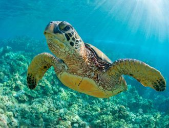 After eating 5kg of coins, a turtle has died following two bouts of surgery