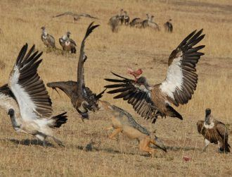 Clever hyenas and jackals use vultures to bag an easy dinner