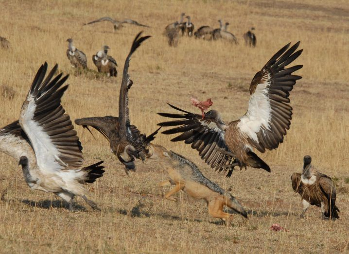 A jackal fights vultures for a meal. Image: Corinne Kendall
