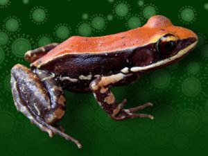 The South Indian frog Hydrophylax bahuvistara. Image: Sanil George and Jessica Shartouny.