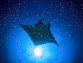 New, tiny manta ray robots could one day hunt lakes for pollution