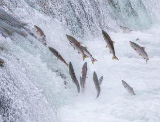 Ireland's salmon numbers tracked online through EU initiative