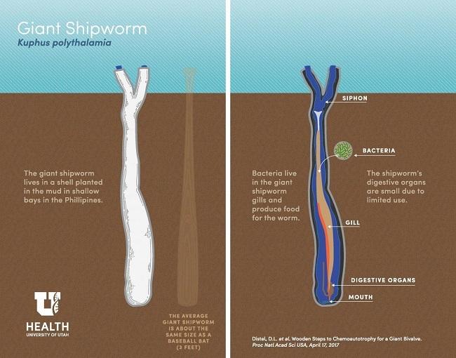 Shipworm explained