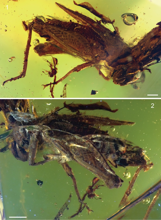 Pygmy locust encased in amber, named after David Attenborough