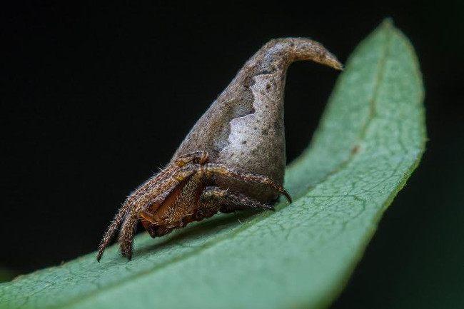 Eriovixia gryffindori, lateral view. Image: Sumukha J. N.