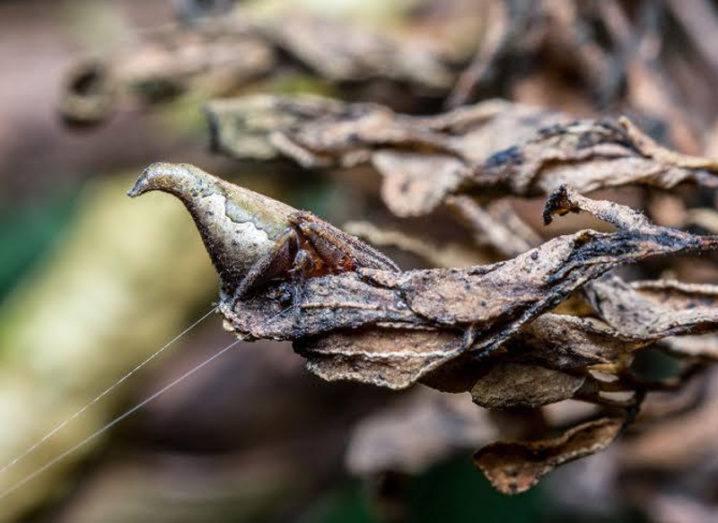 Eriovixia gryffindori, showing resemblance to dried foliage. Image: Sumukha J. N.
