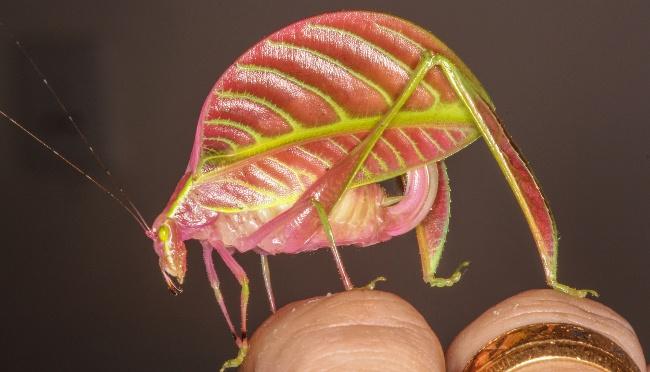 Eulophophyllum kirki in habitat. Image: Peter Kirk