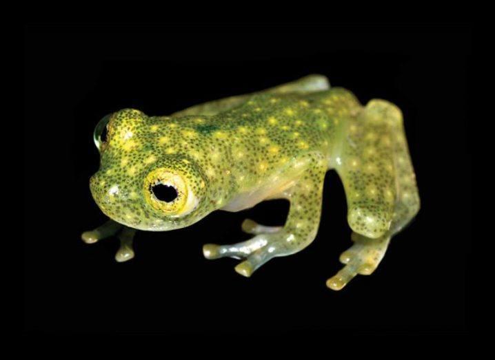 Juvenile of the new glass frog species (Hyalinobatrachium yaku) in life. Image: Ross Maynard/CC-BY 4.0