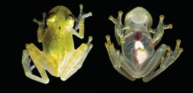 Juvenile of the new glass frog species (Hyalinobatrachium yaku) in life. Image: Jaime Culebras/Ross Maynard/CC-BY 4.0