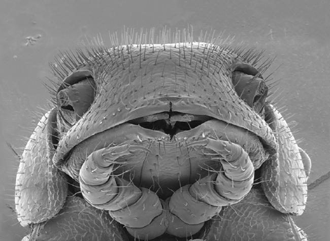 Illacme tobini view of head Image: Paul Marek, Virginia Tech