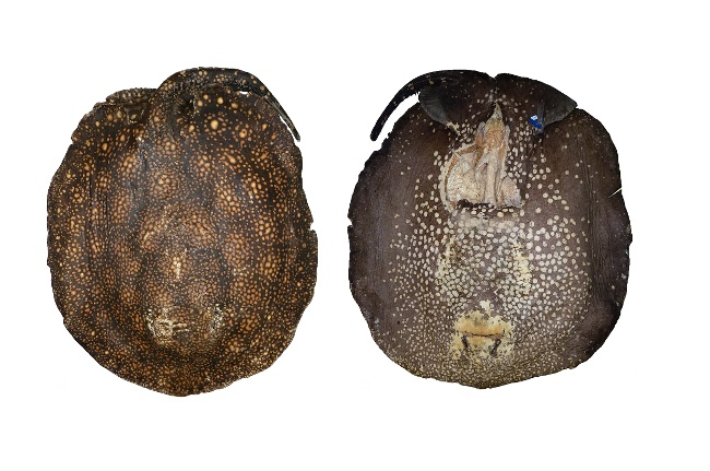 Potamotrygon rex Dorsal (left) and ventral (right) views of holotype, an endemic freshwater stingray that can easily reach upwards of 20kg. Image: Marcelo R de Carvalho
