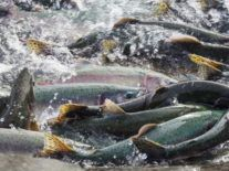 Ireland adds another fish counter after salmon stocks' recovery