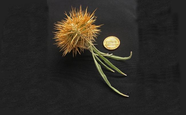 Mature fruit of Solanum ossicruentum enclosed in prickly calyx. Image: Jason T. Cantley