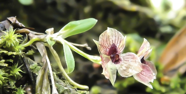 Telipogon diabolicus the plant in its habitat. Image: M. Kolanowska