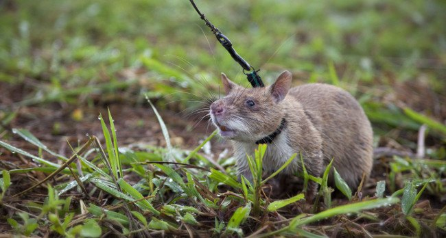 HeroRATS at work. Image: APOPO