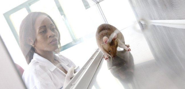 HeroRATS trying to find the TB-infected sample. Image: APOPO