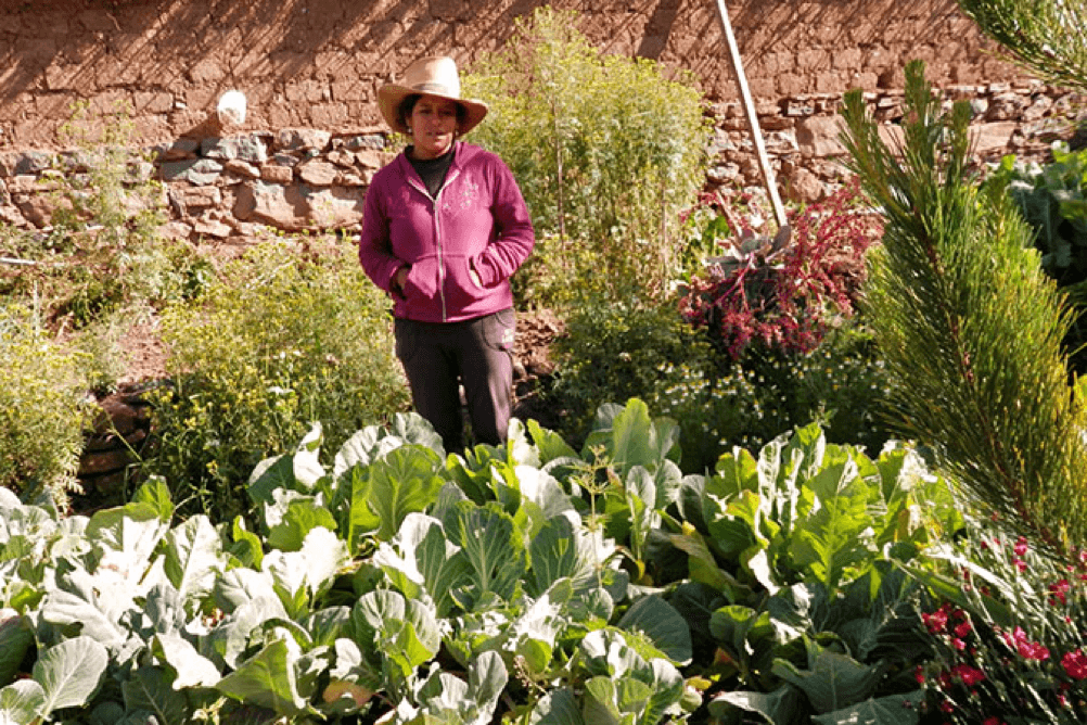 Crops grown by indigenous women farming in the Laramate District of Peru are thriving, thanks to ancestral farming techniques