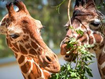 The plight of the giraffe is grim, though tourists could be the saviour