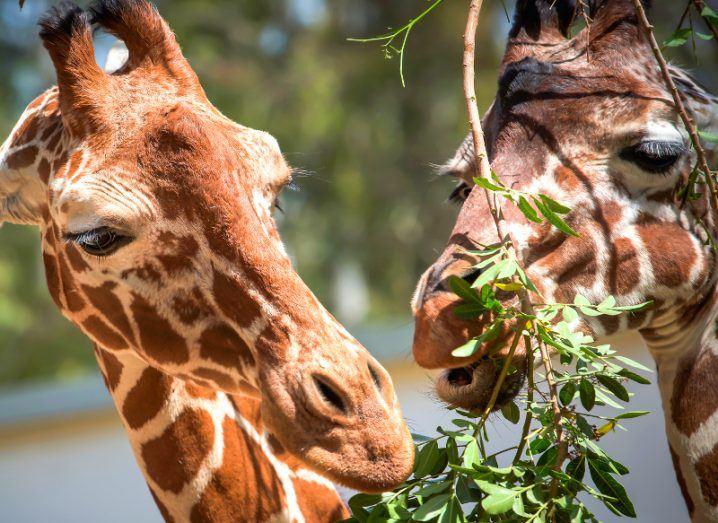 Giraffe. Image: InnaVar/Shutterstock