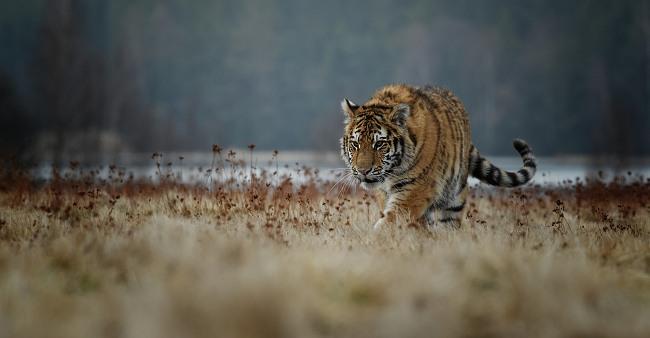 Tiger. Image: miroslav chytil/Shutterstock