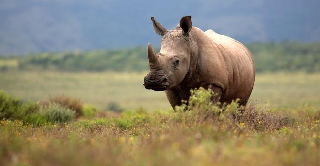 Rhino. Image: Jonathan Pledger/Shutterstock