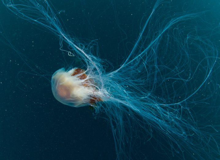 Lion's mane jellyfish in Dublin bay. Image: Nigel Motyer
