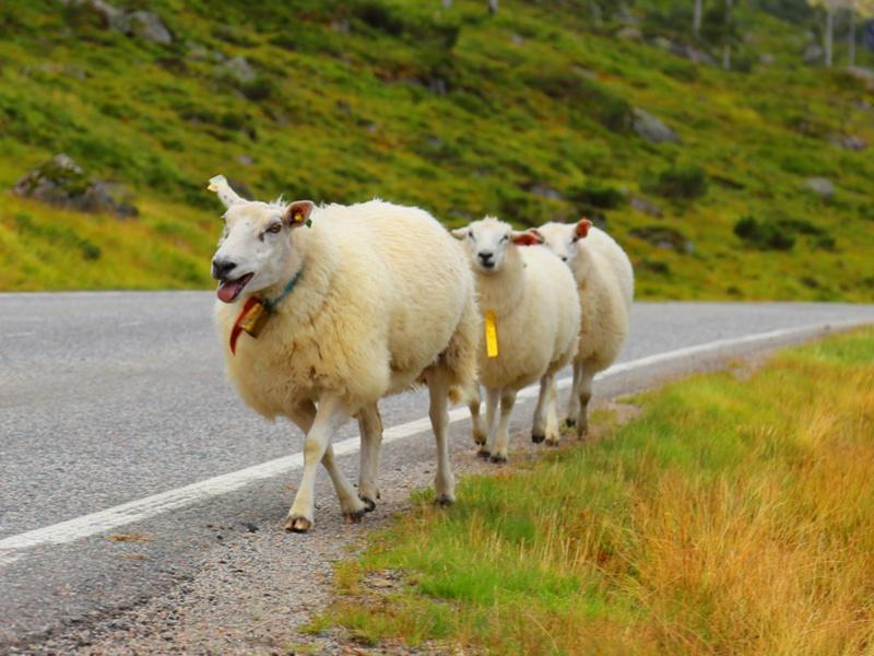 1,000 Norwegian sheep recruited for world's largest NB-IoT pilot