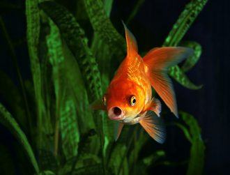 Goldfish make their own alcohol in bid to survive extreme conditions