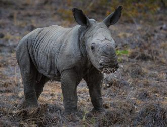 IoT goes on safari with IBM's new solution to save endangered rhinos