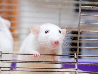 Fat-burning skin patch shows great promise in early tests in mice