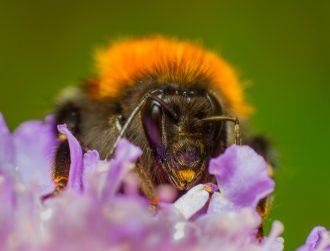 Researchers 'buzzing' after new bumblebee species discovered in Ireland