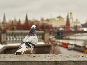 Pigeon overlooks Kremlin