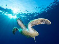 Too many green turtles being born female due to rising sea temperatures