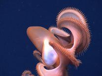 First video of adorable baby 'Dumbo' octopod emerges