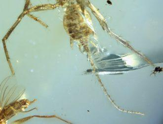 Spider with a tail discovered in 100m-year-old amber