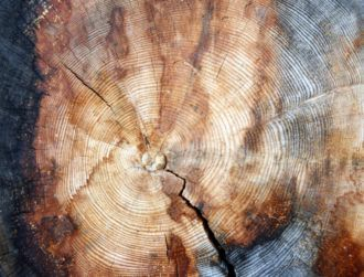 Radioactive carbon locked in 'loneliest tree' pinpoints new human era