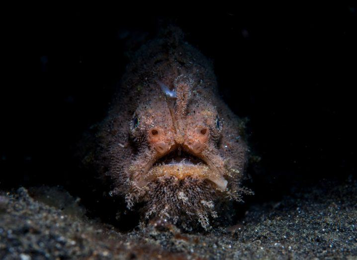 Scientists stunned to capture first mating footage of bizarre anglerfish