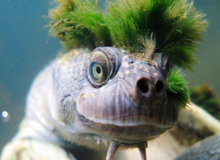 Green-haired turtle that breathes through genitals now endangered