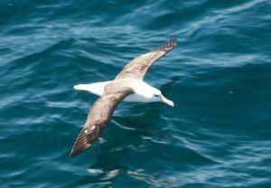 Gliding albatross